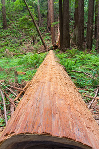 Coast Redwood (Sequoia sempervirens). Muir Woods National Monument.
