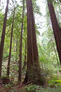 Coast Redwood (Sequoia sempervirens). Muir Woods National Monument.