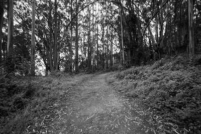 Blue Gum Eucalyptus (Eucalyptus globulus). Coast Trail. Point Reyes National Seashore, CA, USA