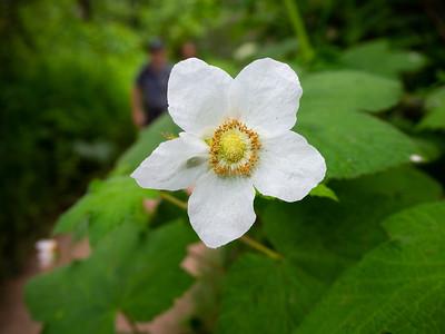 Thimbleberry (Rubus parviflorus). Coast Trail. Point Reyes National Seashore, CA, USA