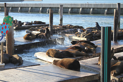 Pier 39 Sea Lions. San Francisco, CA, USA