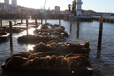 Pier 39 Sea Lions. San Francisco, CA, USA