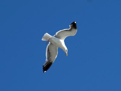 Seagull. Pier 39 - San Francisco, CA, USA
