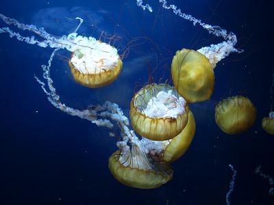 Jellyfish. Aquarium by the Bay - Pier 39 - San Francisco, CA, USA