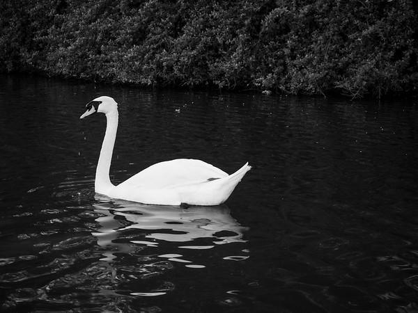 Mute Swan (Cygnus olor). Palace of Fine Arts. San Francisco, CA, USA