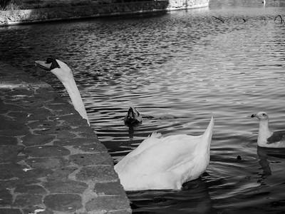 Mute Swan (Cygnus olor). Palace of Fine Arts. San Francisco, CA, USA  In Background: Mallard Duck (Anas platyrhynchos), turtle, seagull.