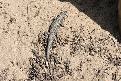Western Fence Lizard (Sceloporus occidentalis). Baker Beach - San Francisco, CA, USA