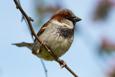 Male House Sparrow (Passer domesticus). Near Pier 39 - San Francisco, CA, USA