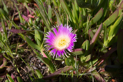 Sea Fig (Carpobrotus chilensis). Baker Beach - San Francisco, CA, USA