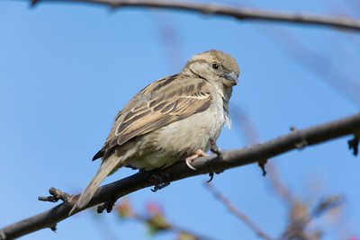 Female House Sparrow (Passer domesticus). Near Pier 39 - San Francisco, CA, USA