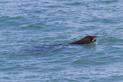 Sea Lion. San Francisco, CA, USA