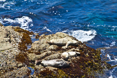 Sea Lions. Point Lobos State Reserve - Big Sur, CA, USA