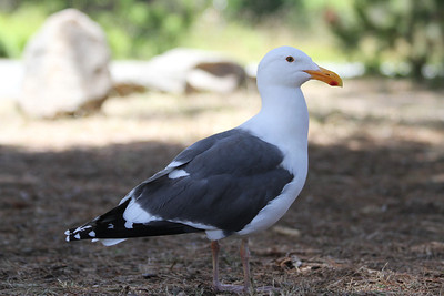 Seagull. Point Lobos State Reserve - Big Sur, CA, USA