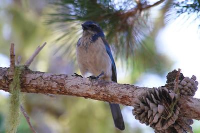 Western Scrub-Jay (Aphelocoma californica). Point Lobos State Reserve - Big Sur, CA, USA