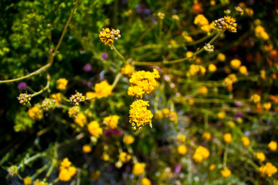 Flowers. Point Lobos State Reserve - Big Sur, CA, USA