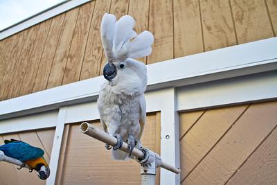 White Cockatoo (Cacatua alba). Fisherman's Wharf - Monterey, CA, USA