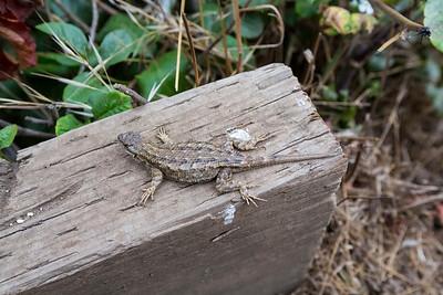 Western Fence Lizard. Andrew Molera State Park - Big Sur, CA, USA