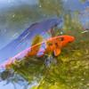 Lily Pond. Huntington Library, Art Collections, and Botanical Gardens - San Marino, CA, USA