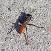 Black and Orange Wasp (Sphex lucae). NASA Moffett Field - Mountain View, CA, USA