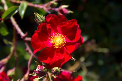 Flower. Stanford University - Stanford, CA, USA