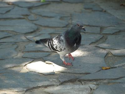 Rock Pigeon (Columba livia). Taipei, Taiwan (台北,台湾)