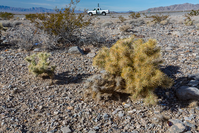 Teddy-Bear Cholla (Cylindropuntia bigelovii). Intersection of SR-160 & US-95. Nye County, NV  Driving to Death Valley National Park from Las Vegas, NV.