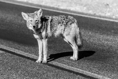 Coyote. Near Furnace Creek Visitor Center. Death Valley National Park