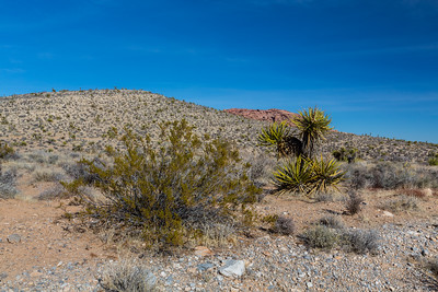 Joshua Tree (Yucca brevifolia) & other desert plants. Grand Circle Loop Trail. Red Rock Canyon National Conservation Area. Las Vegas, NV, USA
