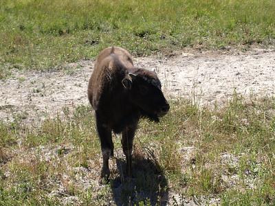 Bison Calf. Yellowstone National Park