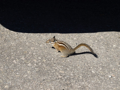 Chipmunk. Yellowstone National Park