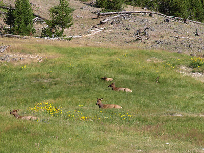 Mule Deer (Odocoileus hemionus). Yellowstone National Park