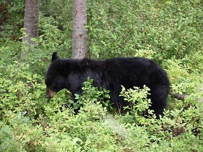 Bear. Signal Mountain. Grand Teton National Park