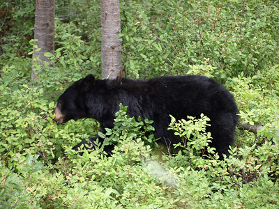 Bear. Signal Mountain. Grand Teton National Park