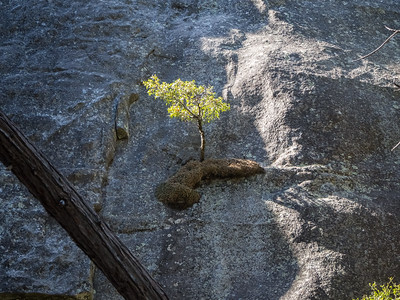 Tree. Lower Yosemite Fall Trail. Yosemite National Park, CA, USA