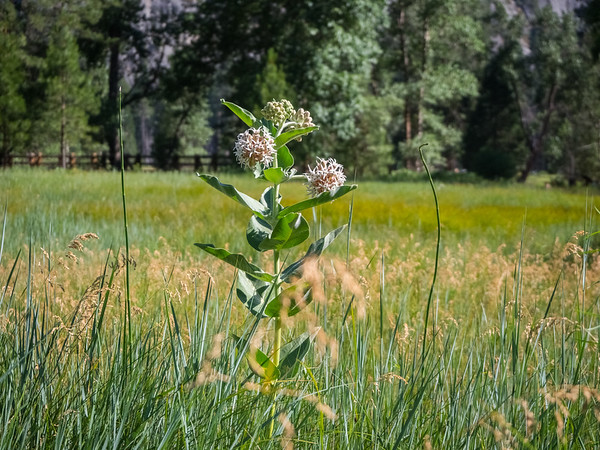 Showy Milkweed (Asclepias Speciosa). Cook's Meadow Loop Trail. Yosemite National Park, CA, USA
