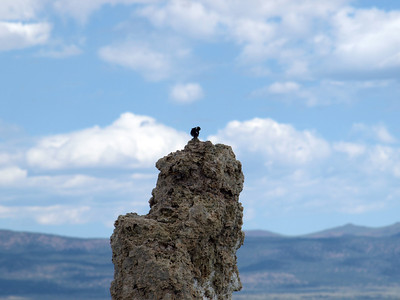 Tree Swallow (Tachycineta bicolor). Mono Lake, CA near Lee Vining