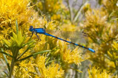 Dragonfly. Mono Basin - Lee Vining, CA, USA