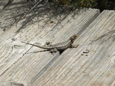 Western Fence Lizard (Sceloporus occidentalis). Mono Lake, CA near Lee Vining
