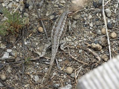 Western Fence Lizard(Sceloporus occidentalis). Mono Lake, CA near Lee Vining