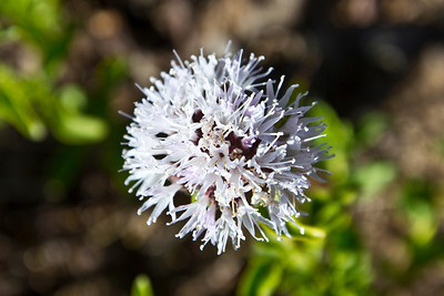 Flower. Road to Mono Lake, CA