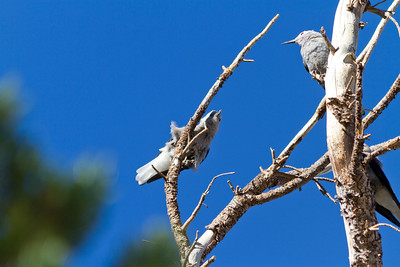 Birds. Sonora Pass. Humbolt-Toiyabe National Forest, CA