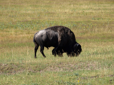 Bison. Yellowstone National Park
