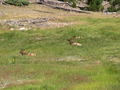 Mule Deer (Odocoileus hemionus). Yellowstone National Park