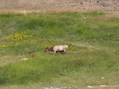 Deer taking poop. Mule Deer (Odocoileus hemionus). Yellowstone National Park