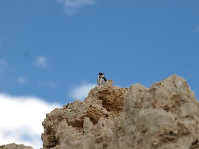 Tree Swallow (Tachycineta bicolor). Mono Lake, CA near Lee Vining