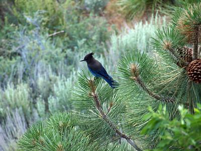 Steller's Jay (Cyanocitta stelleri). From Yosemite Gateway Motel in Lee Vining, CA, USA
