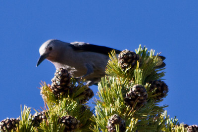 Birds. Sonora Pass/Toiyabe National Forest. Road to Mono Lake, CA