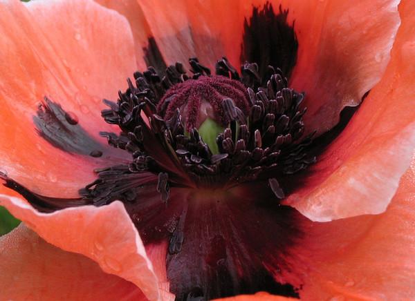 Oriental Poppy close-up.