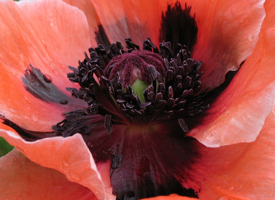 Oriental Poppy close-up.