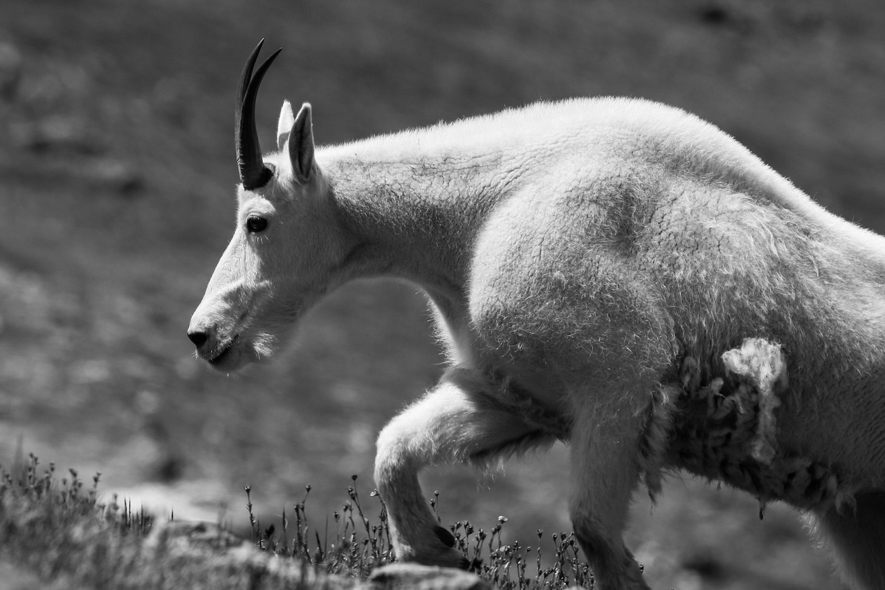 Muscle Goat